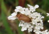Isomira sericea; Comb-clawed Beetle species