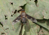 Exoprosopa meigenii; Bee Fly species