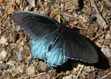 Battus philenor; Pipevine Swallowtail; male