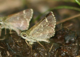Amblyscirtes hegon; Pepper and Salt Skipper