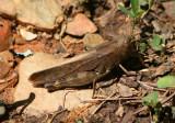 Arphia sulphurea; Sulphur-winged Grasshopper