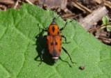Rhodobaenus quinquepunctatus; Cocklebur Weevil