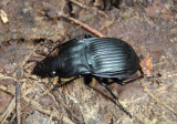 Dicaelus Notch-mouthed Ground Beetle species