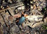 Galerita bicolor; False Bombardier Beetle species