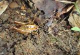 Rhaphidophoridae Camel Cricket species