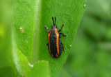 Microrhopala xerene; Leaf Beetle species