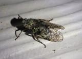 Calyptoproctus marmoratus; Fulgorid Planthopper species