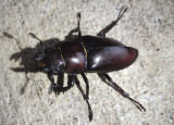 Lucanus capreolus; Reddish-brown Stag Beetle; female