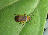 Galerucella nymphaeae; Water-lily Beetle