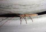 Hippopsis lemniscata; Flat-faced Longhorn Beetle