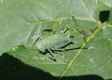 Microcentrum rhombifolium; Greater Angle-wing Katydid nymph