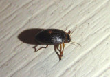 Coelambus impressopunctatus; Predaceous Diving Beetle species
