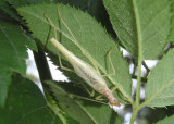 Neoxabea bipunctata; Two-spotted Tree Cricket; male