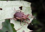 Hypera zoilus; Clover Leaf Weevil