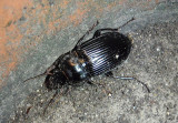 Harpalus caliginosus; Murky Ground Beetle