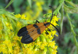 Calopteron reticulatum; Banded Net-wing Beetle
