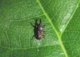 Sitophilus oryzae; Rice Weevil