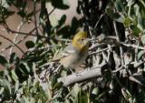 Olive Warbler; female