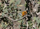 Olive Warbler; male