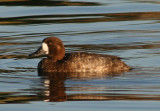 Greater Scaup; female