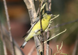 Lesser Goldfinch; male