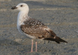 Great Black-backed Gull; first cycle