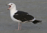 Great Black-backed Gull; third year