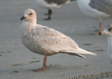 Iceland Gull; first cycle