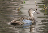Blue-winged Teal; female