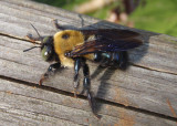 Xylocopa virginica; Eastern Carpenter Bee; male