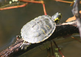 Yellow-bellied Slider; juvenile