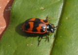 Chrysomela interrupta; Willow Leaf Beetle