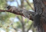 Southeastern Fox Squirrel