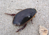 Cybister fimbriolatus; Predaceous Diving Beetle species