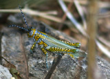Poecilotettix pantherinus; Panther-spotted Grasshopper; male