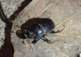 Copris minutus; Small Black Dung Beetle