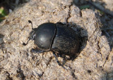 Geotrupes opacus; Opaque Earth Boring Beetle