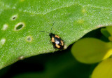 Phyllotreta striolata; Striped Flea Beetle