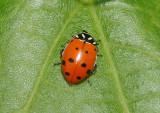 Hippodamia convergens; Convergent Lady Beetle