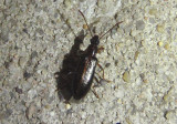 Statira Darkling Beetle species