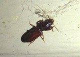 Clivina Ground Beetle species