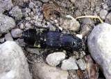 Creophilus maxillosus; Hairy Rove Beetle