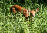 White-tailed Deer; fawn