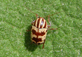Cryptocephalus leucomelas; Case-bearing Leaf Beetle species