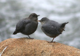 American Dippers; adult with juvenile