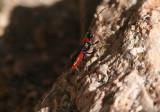 Atanycolus Braconid Wasp species