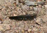 Circotettix rabula; Wrangler Grasshopper