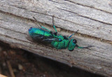 Chrysis Cuckoo Wasp species