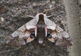 7822 - Smerinthus cerisyi; One-eyed Sphinx