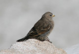 Brown-capped Rosy-Finch; immature